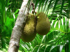 Jackfruit - chutný a vitamíny nabitý druh ovoce