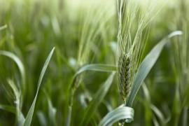 Jak hubnout se zeleným ječmenem?